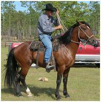 Florida Cracker Horse wwwfloridacrackerhorsescomimageswcowhjpg