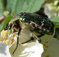 Flower chafer Flower chafer Wikipedia