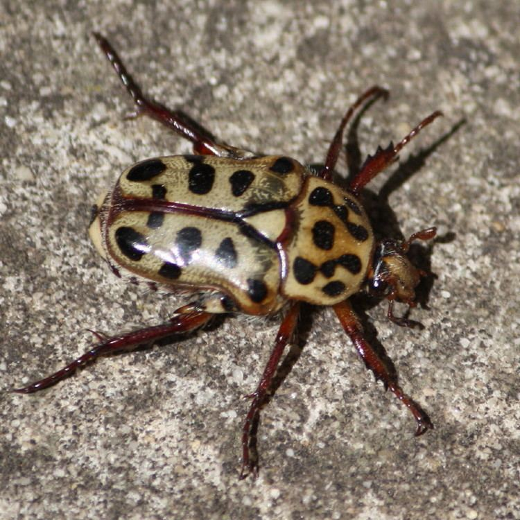 Flower chafer 1839666 Flower beetle Spotted Flower Chafer Neorrhina punctatum ex
