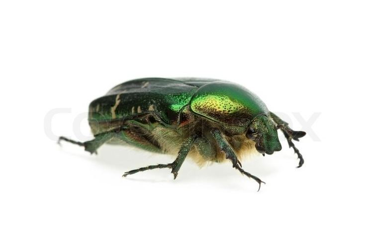 Flower chafer Flower chafer rose chafer Cetonia aurata beetle Stock Photo