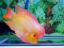 Flowerhorn cichlid httpsuploadwikimediaorgwikipediacommonsthu