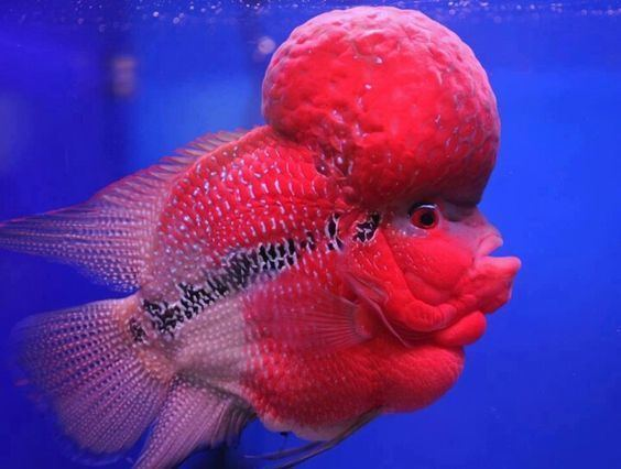 Flowerhorn cichlid Flowerhorn cichlid red fish freshwater Life Underwater
