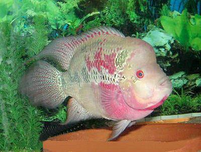 Flowerhorn cichlid Flowerhorn Cichlid Hua Luo Han Cichlid Fish Guide