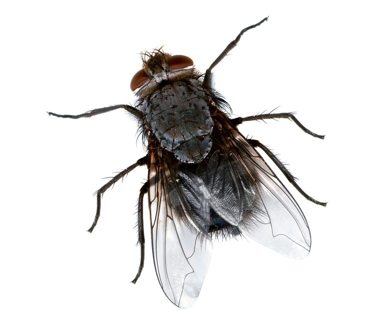 Fly FileFly closejpg Wikimedia Commons
