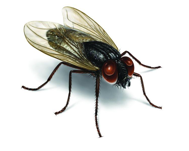 Fly cdnorkincomimagesflieshouseflyillustration