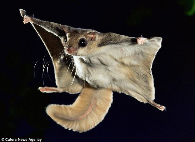 Flying squirrel Incredible images show flying squirrel leaping 150feet through