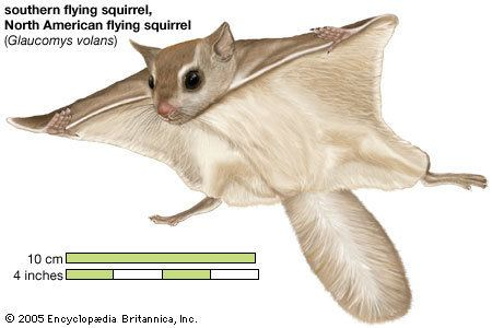 Flying squirrel flying squirrel rodent Britannicacom