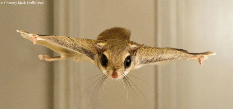 Flying squirrel 1000 images about Southern Flying Squirrel on Pinterest Pets