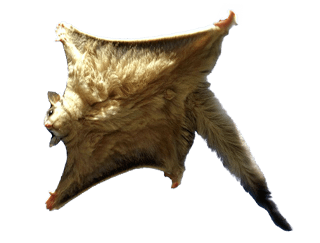 Flying squirrel wwwflyingsquirrelbarcomimagesrealflyingsquir