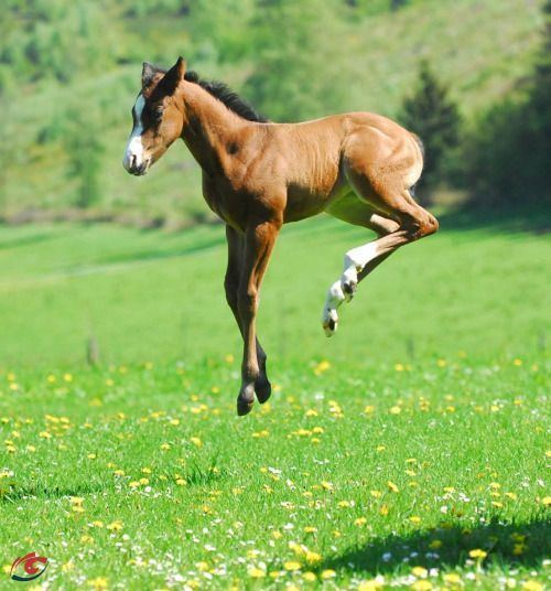 Foal Perfectly Timed Shot of a Foal playing in a Field of Flowers
