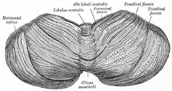 Folium vermis