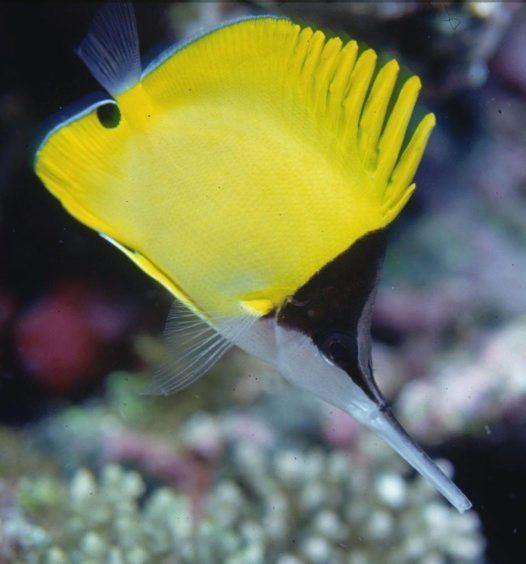 Forcipiger Longnose Butterflyfish Forcipiger longirostris Broussonet 1782