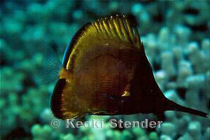 Forcipiger Longnose Butterflyfish Forcipiger longirostris
