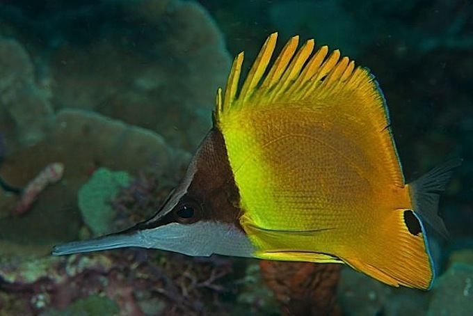 Forcipiger Forcipiger wanai is a new longnose butterflyfish species from