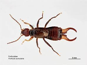 Forficulidae Search