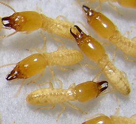 Image result for formosan subterranean termites