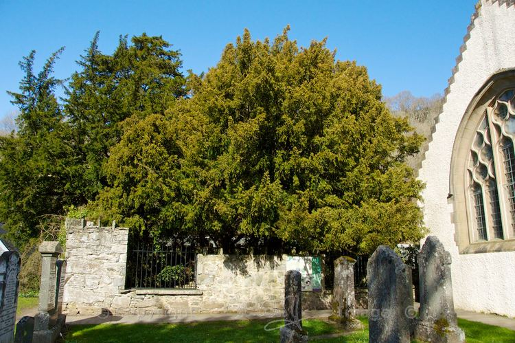 Fortingall Yew The Fortingall Yew symbol of eternity The Hazel Tree