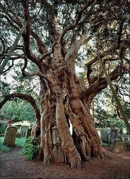 Fortingall Yew Fortingall Yew Perth Scotland This may be the oldest living thing