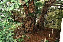 Fortingall Yew httpsuploadwikimediaorgwikipediacommonsthu