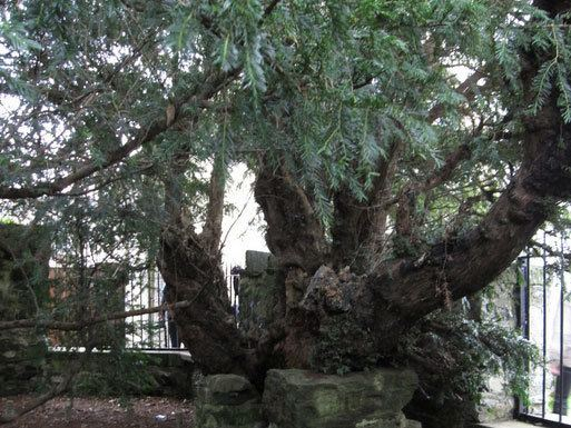 Fortingall Yew Britain39s oldest tree the Fortingall Yew is 39undergoing a sex