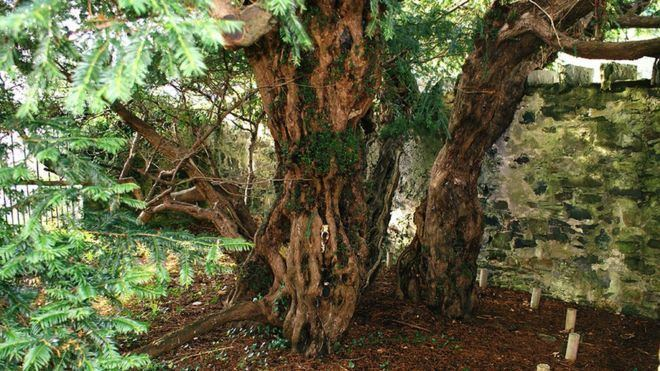 Fortingall Yew Berries show ancient Fortingall yew tree is 39changing sex39 BBC News