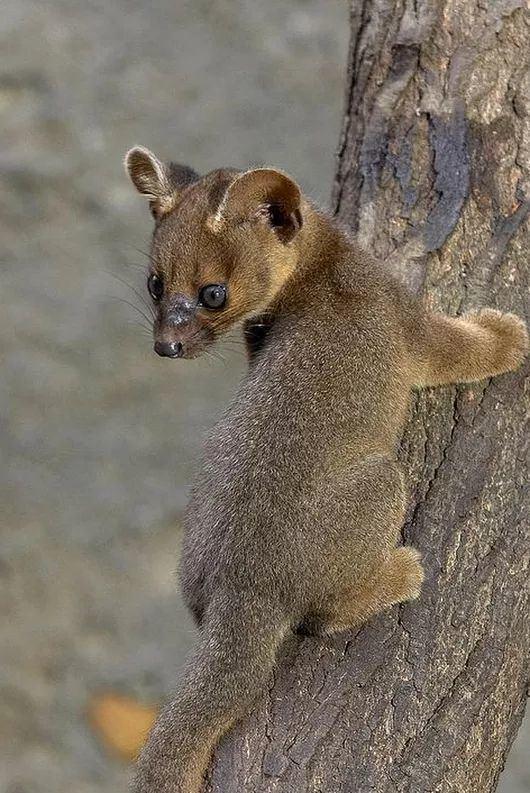 Fossa (animal) 1000 images about Fossa on Pinterest Cats Madagascar and Fossa