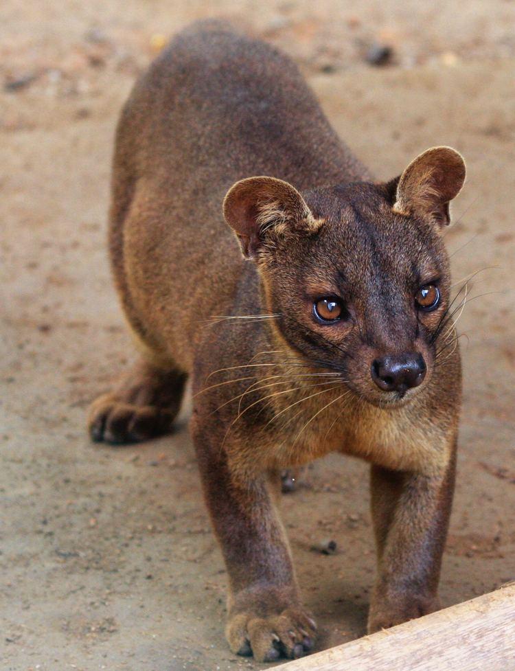 Fossa (animal) httpsuploadwikimediaorgwikipediacommons33