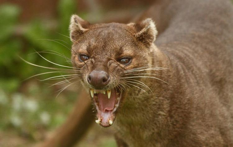 Fossa (animal) 1000 images about Fossa on Pinterest Madagascar Fossa animal and