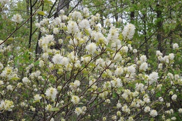 Fothergilla great shrub fothergilla a multiseason star A Way To Garden