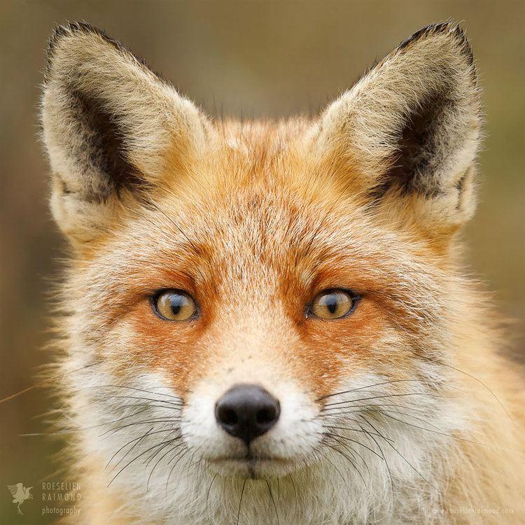 Fox staticboredpandacomblogwpcontentuploads2016