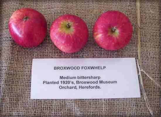 Foxwhelp English Apples Foxwhelp DIVERSITY website old varietiescox
