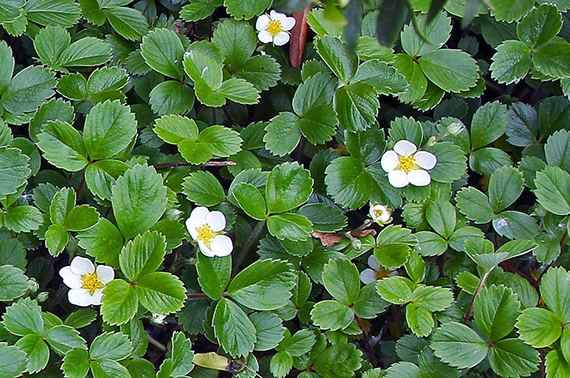 Fragaria chiloensis Groundcovers for WaterConserving Landscapes