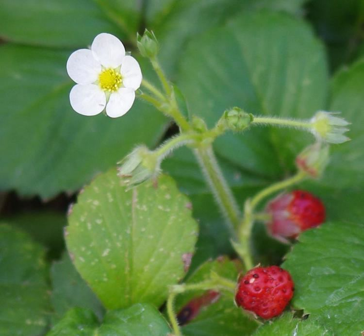 Fragaria chiloensis Fragaria chiloensis Sand Strawberry