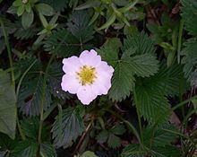 Fragaria nubicola httpsuploadwikimediaorgwikipediacommonsthu