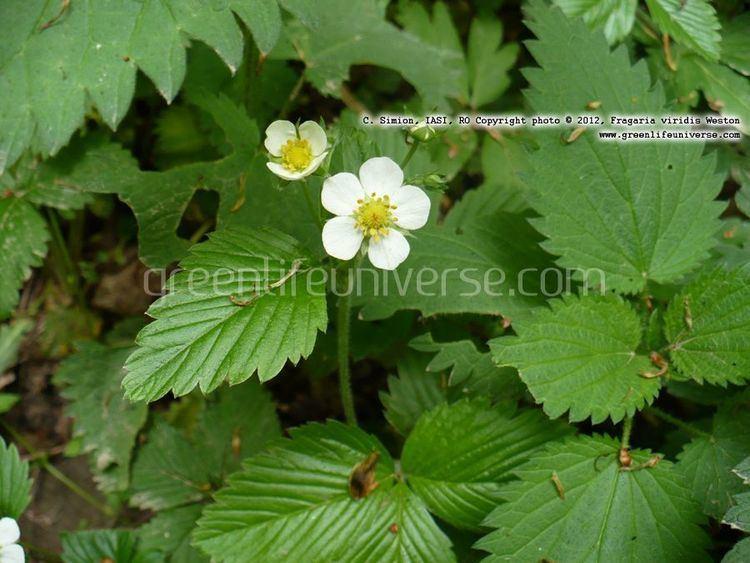 Fragaria viridis Fragaria viridis wild strawberry Plants amp Flowers Information