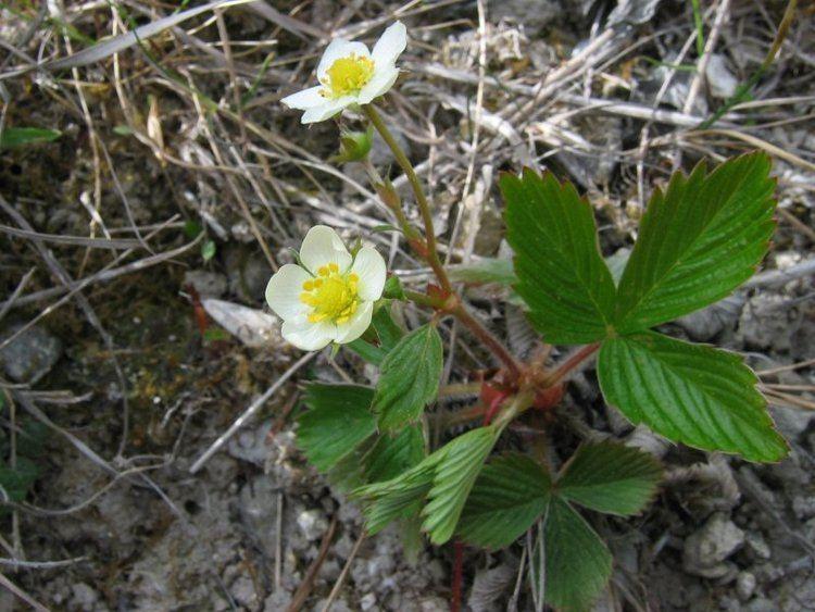 Fragaria viridis Jahodnk trvnice Wikipedie