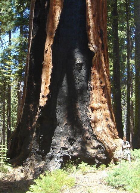 Franklin (tree)
