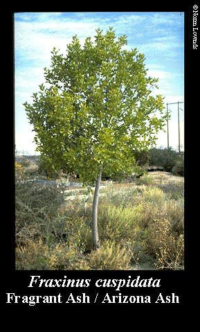 Fraxinus cuspidata NMSU Low WaterUse Landscape Plants for the Southwest Fragrant Ash