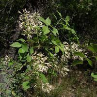 Fraxinus cuspidata SEINet Arizona Chapter Fraxinus cuspidata