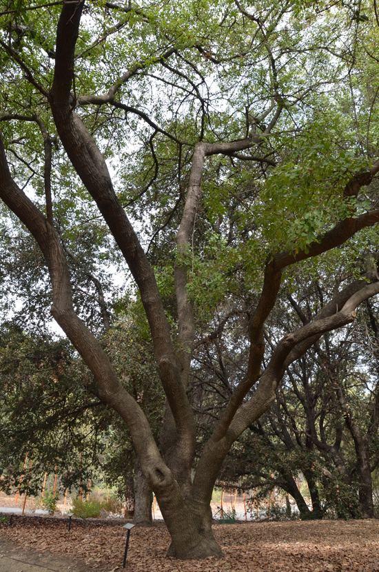 Fraxinus dipetala UFEI SelecTree A Tree Selection Guide
