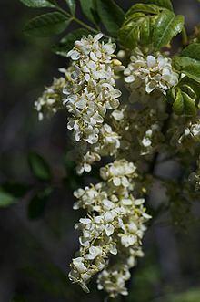 Fraxinus dipetala httpsuploadwikimediaorgwikipediacommonsthu