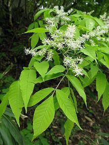 Fraxinus lanuginosa httpsuploadwikimediaorgwikipediacommonsthu