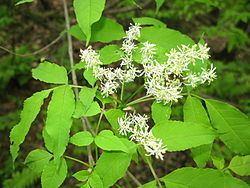 Fraxinus lanuginosa Fraxinus lanuginosa Wikispecies