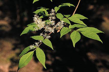 Fraxinus lanuginosa Fraxinus lanuginosa