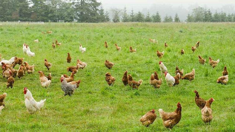 Free range Is freerange chicken the real deal
