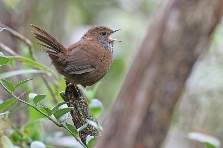 Friendly bush warbler Friendly Bushwarbler Bradypterus accentor videos photos and