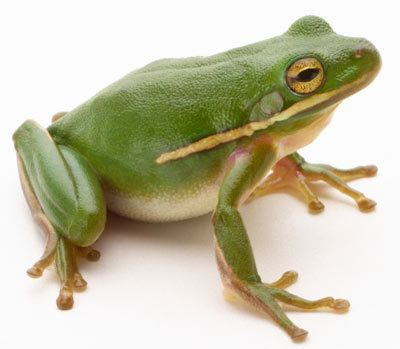 Frog How Frogs Work HowStuffWorks