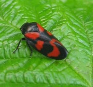 Froghopper froghopper insect Britannicacom