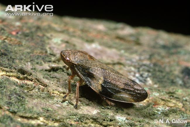 Froghopper Common froghopper videos photos and facts Philaenus spumarius