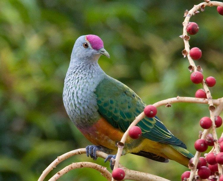 Fruit dove A Rainbow of Fruit Doves Featured Creature